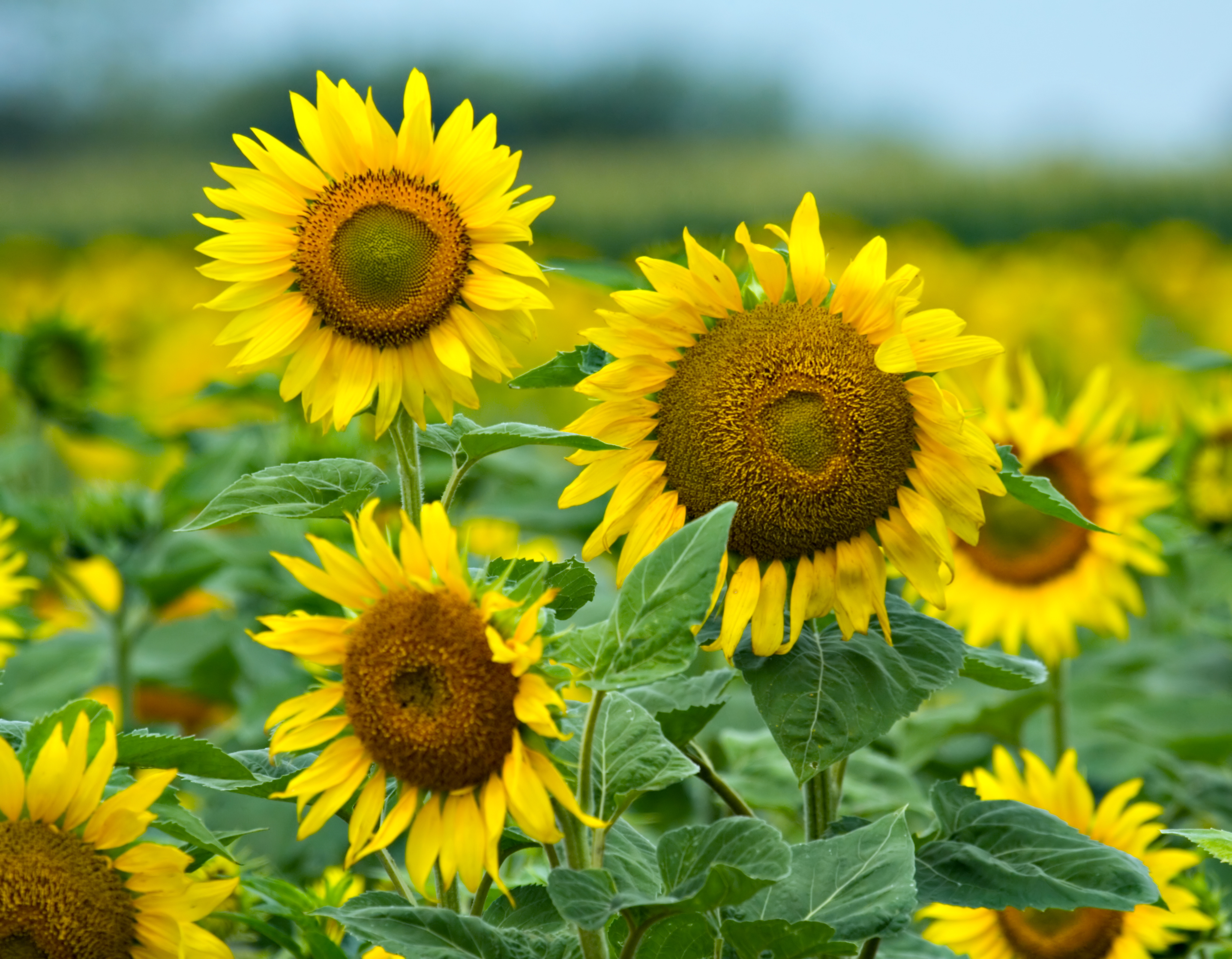 Sunflowers – What about God